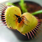 Venus Flytrap by Matthew  Wallace