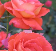 Benalla Roses by Allison Sheenan