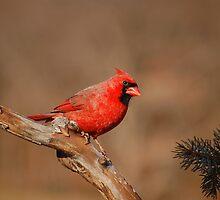 Go Cardinals! by Gregg Williams