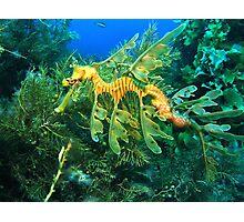 Leafy Seadragon Photographic Print