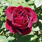 Rose by Sarah Jurgens