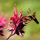 Clearwinged Hummingbird Moth by Roxane Bay