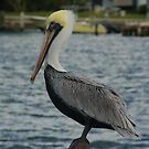 pelican by angelc1