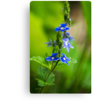 Blue Speedwell Flowers Canvas Print