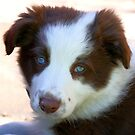 Blue Eyed Blitz -  Border Collie - NZ by AndreaEL