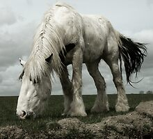 Shire Horse by mackozer