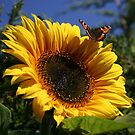 Butterfly & Sunflower by Martina Fagan