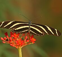 Zebra Longwing 2 by Robert Abraham