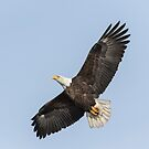 American Bald Eagle 2015-25 by Thomas Young