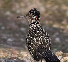 Greater Road Runner by tomryan