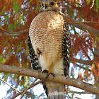 Hawk Eyes by sailorsedge