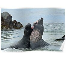 Elephant seals sparing on the beach Poster