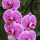 Orchid by Janet Schaefer
