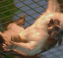 Cotton-top tamarin by loiteke