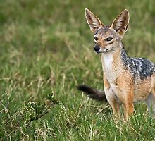Black Backed Jackal by Peter Denness