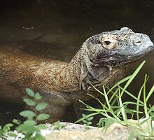 Komodo Dragon by Dennis Stewart