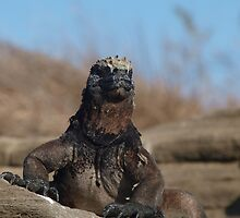 Marine Iguana at Galapagos Islands by Georgie Johnson