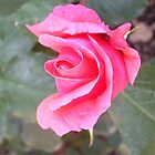 Pink rose of Gastouri by fruitcake