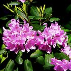 Rhododendron Closeup by Susan Savad