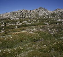 Kosciuszko Wildflowers by Danya Rose