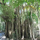 Bush Boardwalk & Stangular Fig. Berry Springs, Noonamah. N.T. by Rita Blom