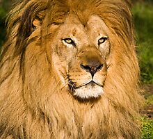 Male Lion Portrait by Nickolay Stanev