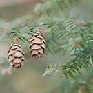Conifer by SpiritFox