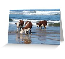 Cattle at shore line at Kings run north of Arthur River in far nor west Tasmania Greeting Card