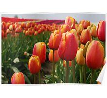 Skagit Valley Tulips Poster