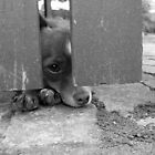 Dog under fence by Amy Skinder