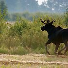 Moose on the go by Heath Dreger