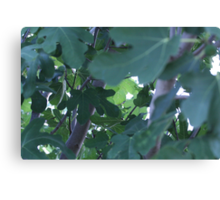 Fig Leaves! Canvas Print