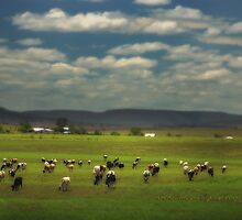 Killarney Dairy Cattle © Vicki Ferrari Photography by Vicki Ferrari