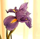 Purple Iris - A Botanical Poster by Margie Avellino