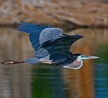 Great Blue Heron 11 by Marvin Collins