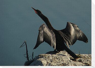 Wings of the Anhinga by Isa Rodriguez