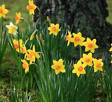 Daffodils by Tim Wootton