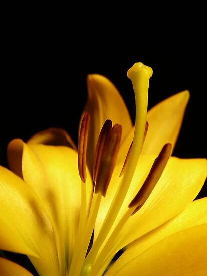 mellow yellow silly lily by Kimberley  x ♥ Davitt