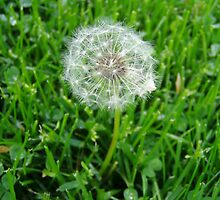 Dandelion by 405photography