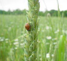 Ladybug Ladybug by Sanguine