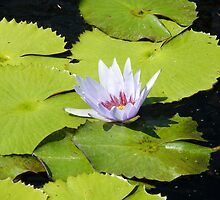 Lily pad by Gordon Taylor