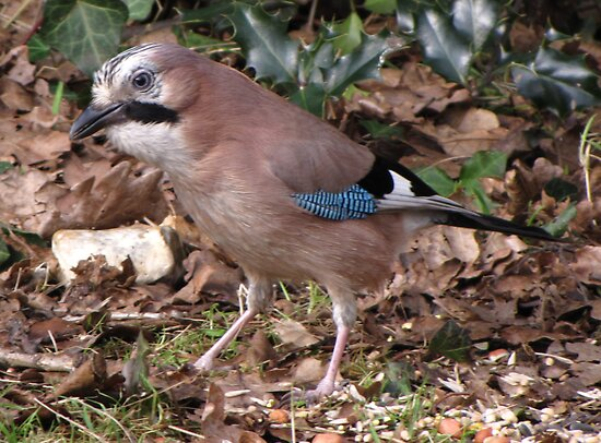 A Jay by Sharon Perrett