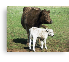 Mother & son  (3 hrs. old)- Murray Grey Cattle Canvas Print