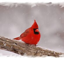 Winter Cardinal by Gregg Williams