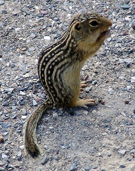 Chipmunk by George Cousins