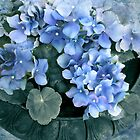 Hydrangea in Blue by Jessica Jenney