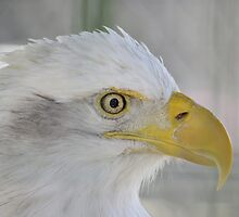 Fontana Eagle Portrait 3 by LynyrdSky