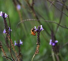 A Bee in Lavendar by Nickie