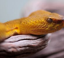 Phillippine Palm Viper  by Dennis Stewart