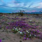 Sunset Colors and Spring Wildflowers in Anza Borego by photosbyflood